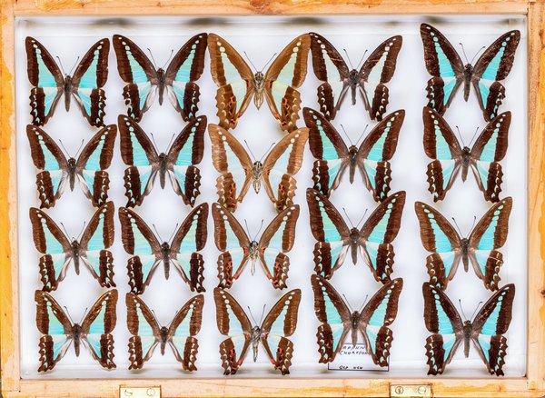 John Landy Butterflies Drawer 29 - 1