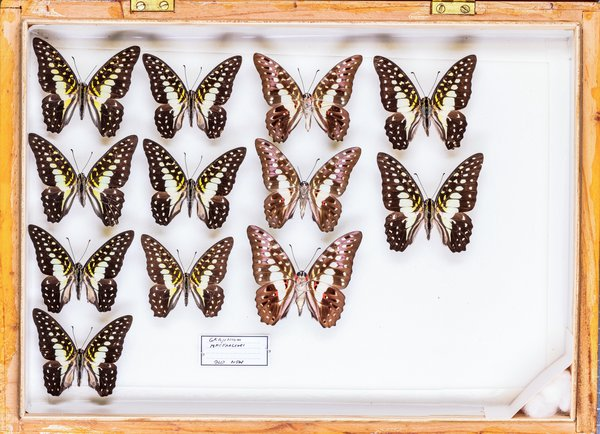 John Landy Butterflies Drawer 29 - 2