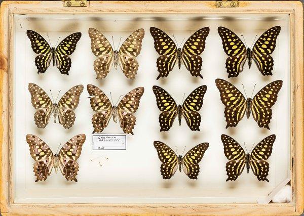 John Landy Butterflies Drawer 30 - 2