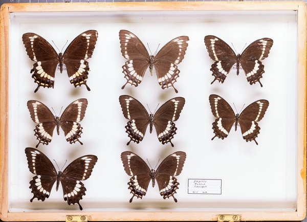 John Landy Butterflies Drawer 31 -1
