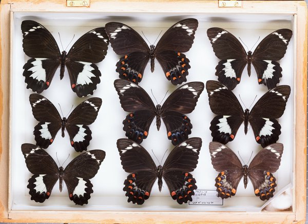 John Landy Butterflies Drawer 33 - 2