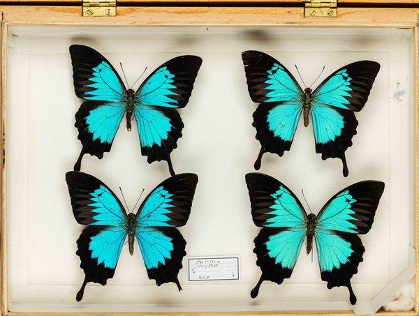 John Landy Butterflies Drawer 34 - 2