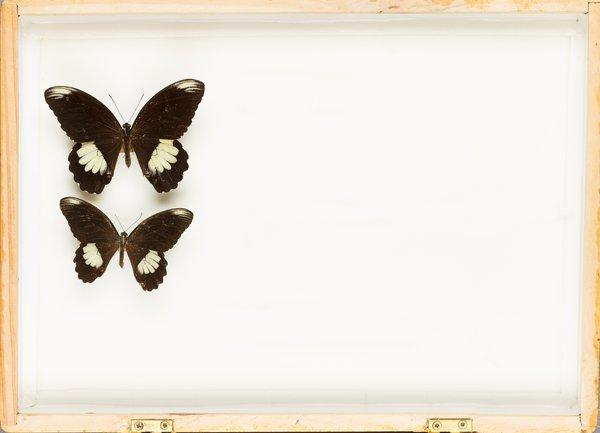 John Landy Butterflies Drawer 35 - 1