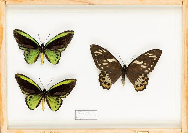 John Landy Butterflies Drawer 36 - 1