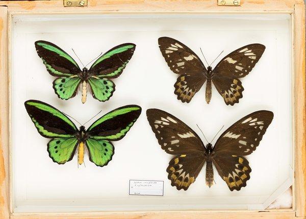 John Landy Butterflies Drawer 36 - 2