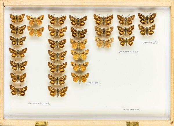 John Landy Butterflies Drawer 4 - 1