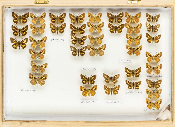 John Landy Butterflies Drawer 4 - 2