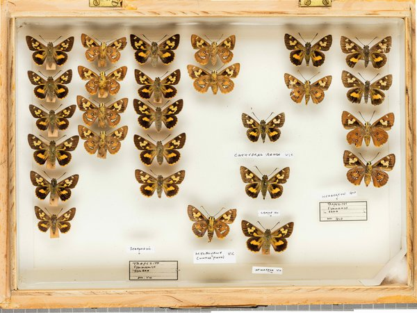 John Landy Butterflies Drawer 5 - 2