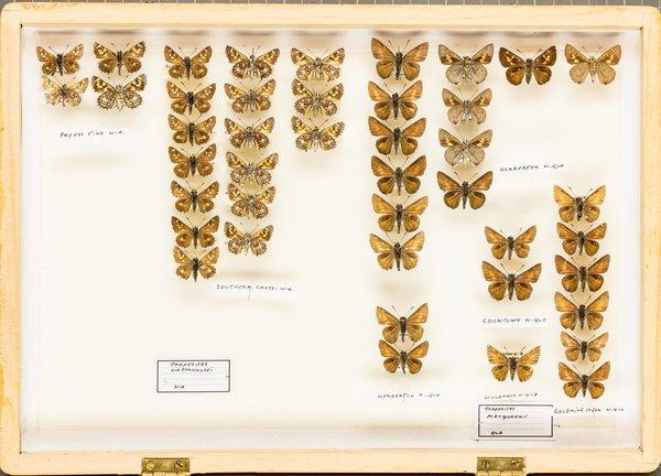 John Landy Butterflies Drawer 7 - 1