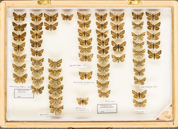 John Landy Butterflies Drawer 7 - 2