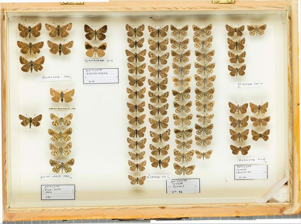 John Landy Butterflies Drawer 8 -2
