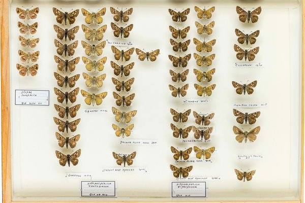 John Landy Butterflies Drawer 9 - 1