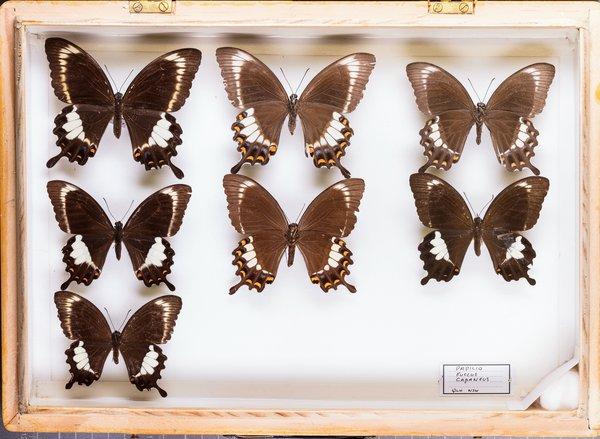 John Landy Butterflies Drawer 31 - 2