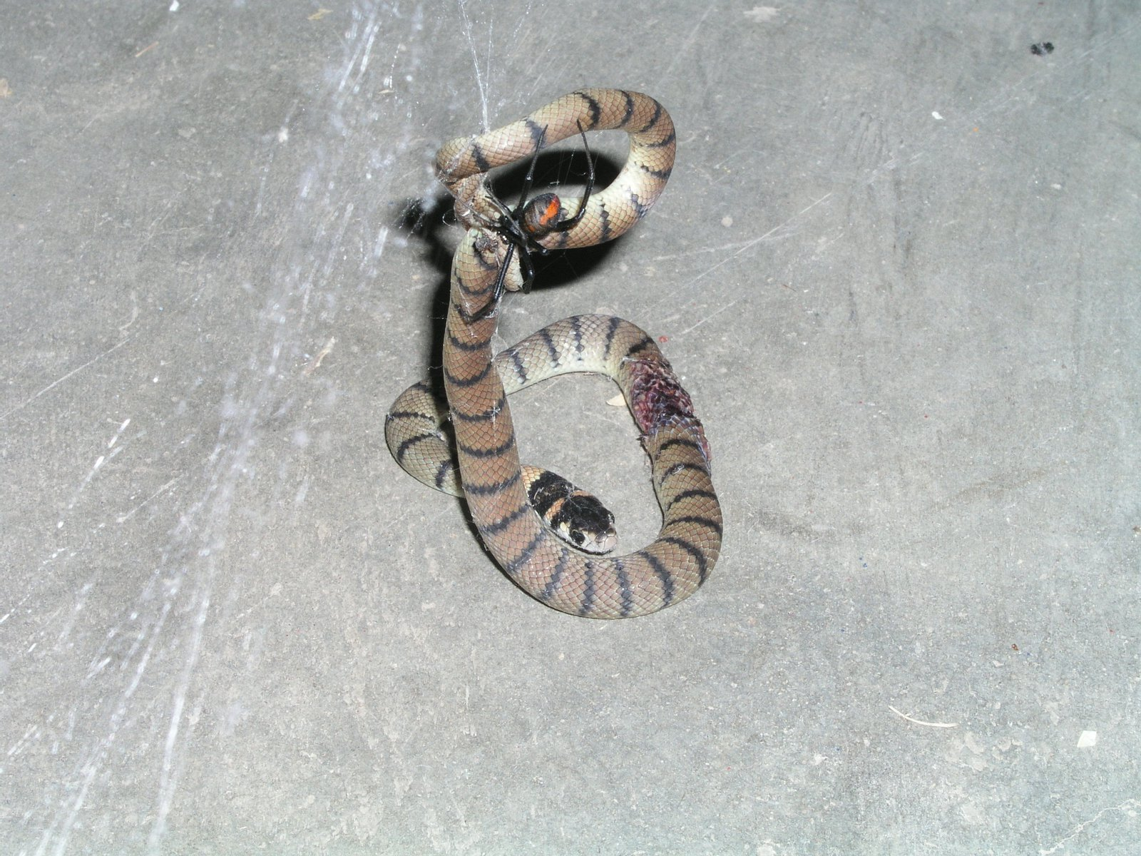Juvenile Eastern brown snake with redback spider bite lesion.