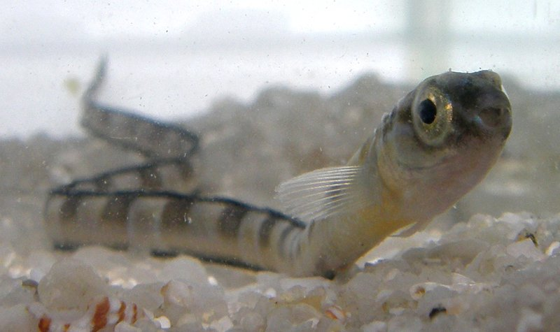 Juvenile Hairtail Blenny