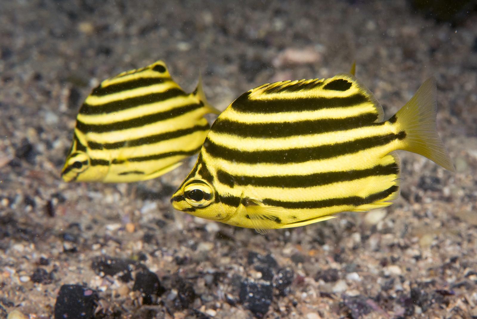 Juvenile Microcanthus strigatus