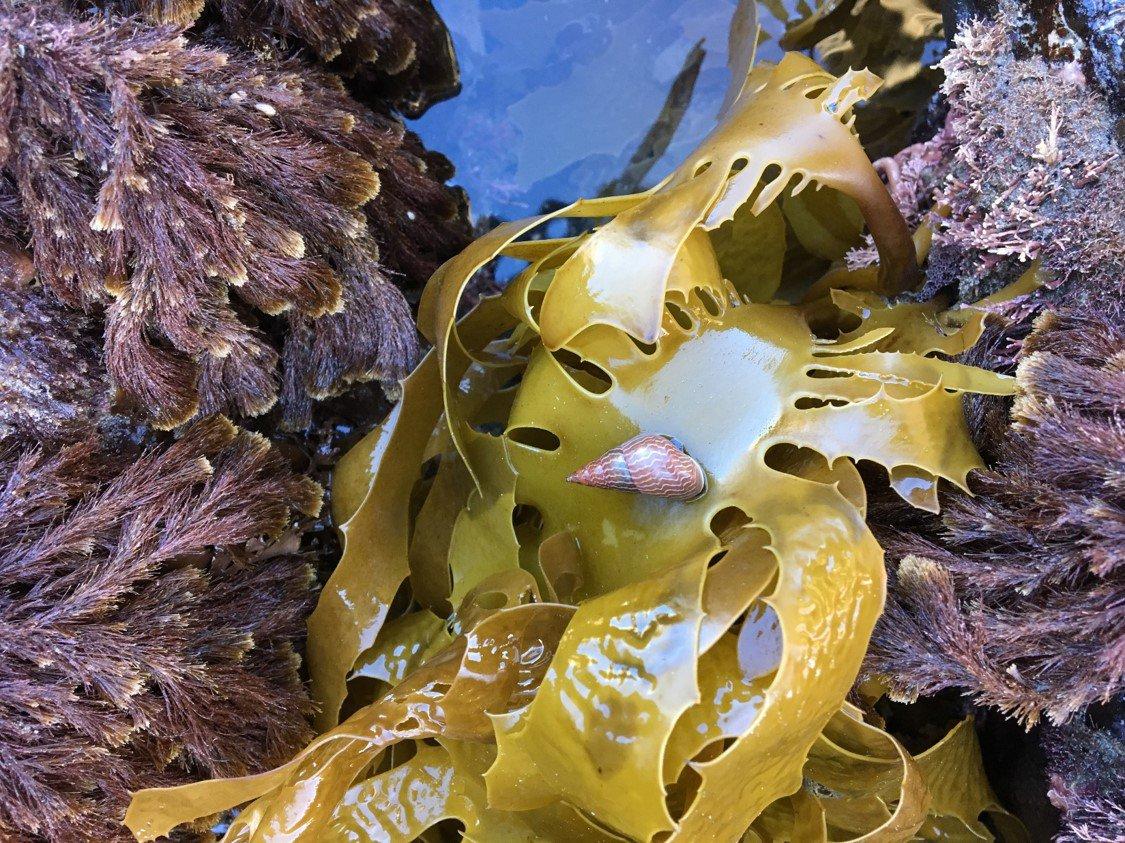 Rainbow kelp shell