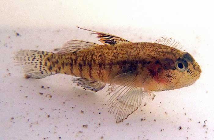 Largemouth Goby, Redigobius macrostoma