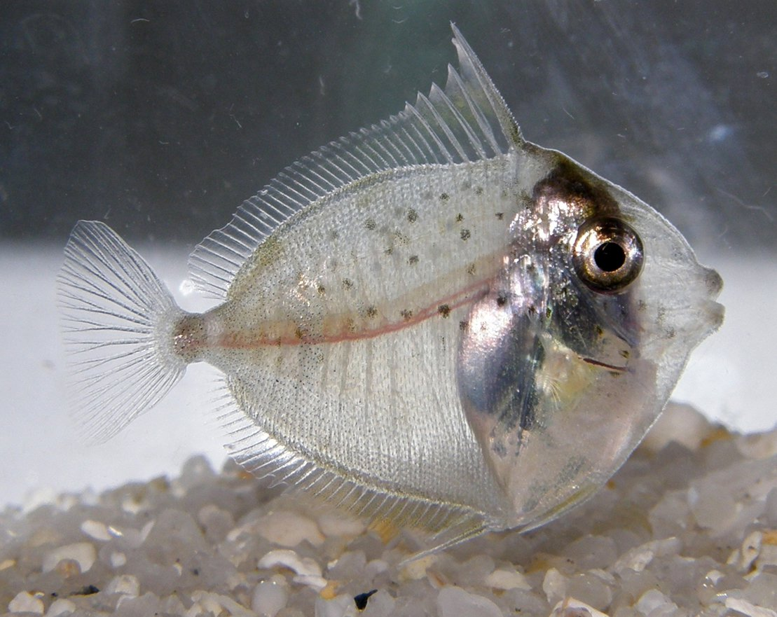 Larval surgeonfish, Naso sp