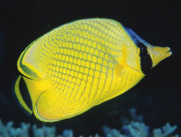 Lattice Butterflyfish, <i>Chaetodon rafflesii</i>