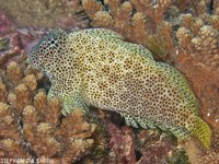 Leopard Blenny, Exallias brevis