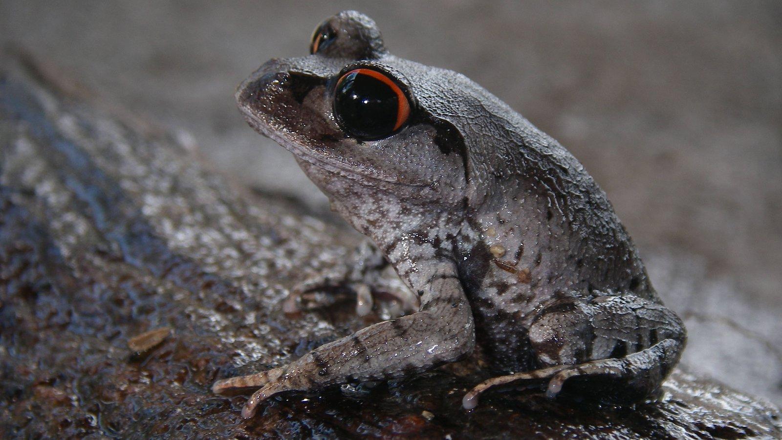 Crescent Moon Spadefoot Frog (Leptobrachium lunatum), Cambodia.