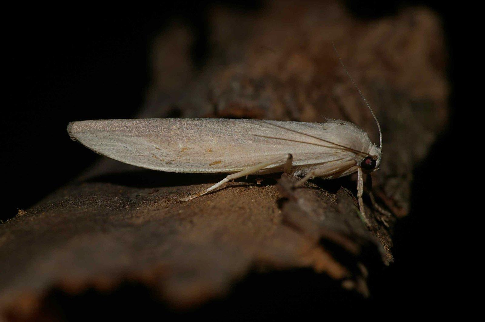 Lithosiinae Calamidia hirta female