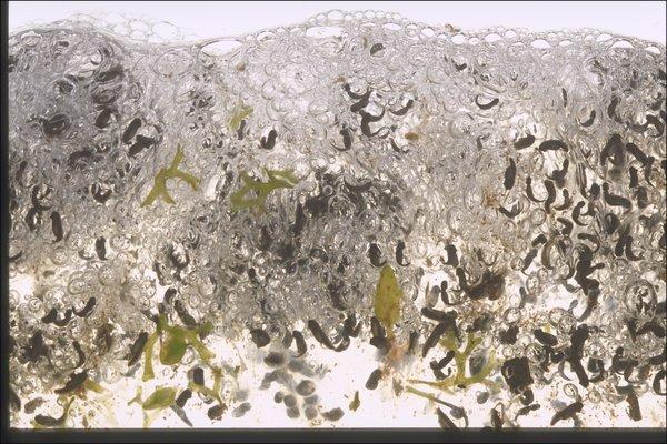 Limnodynastes peronii