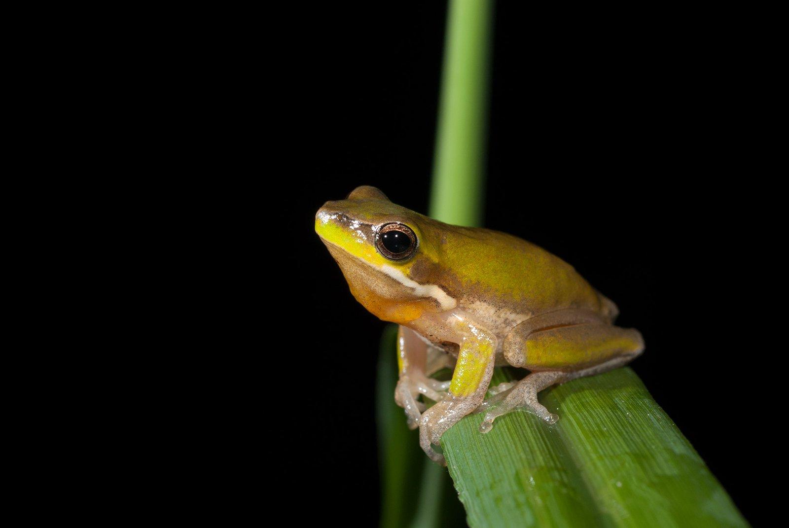 Calling Eastern Dwarf Tree Frog, Litoria fallax
