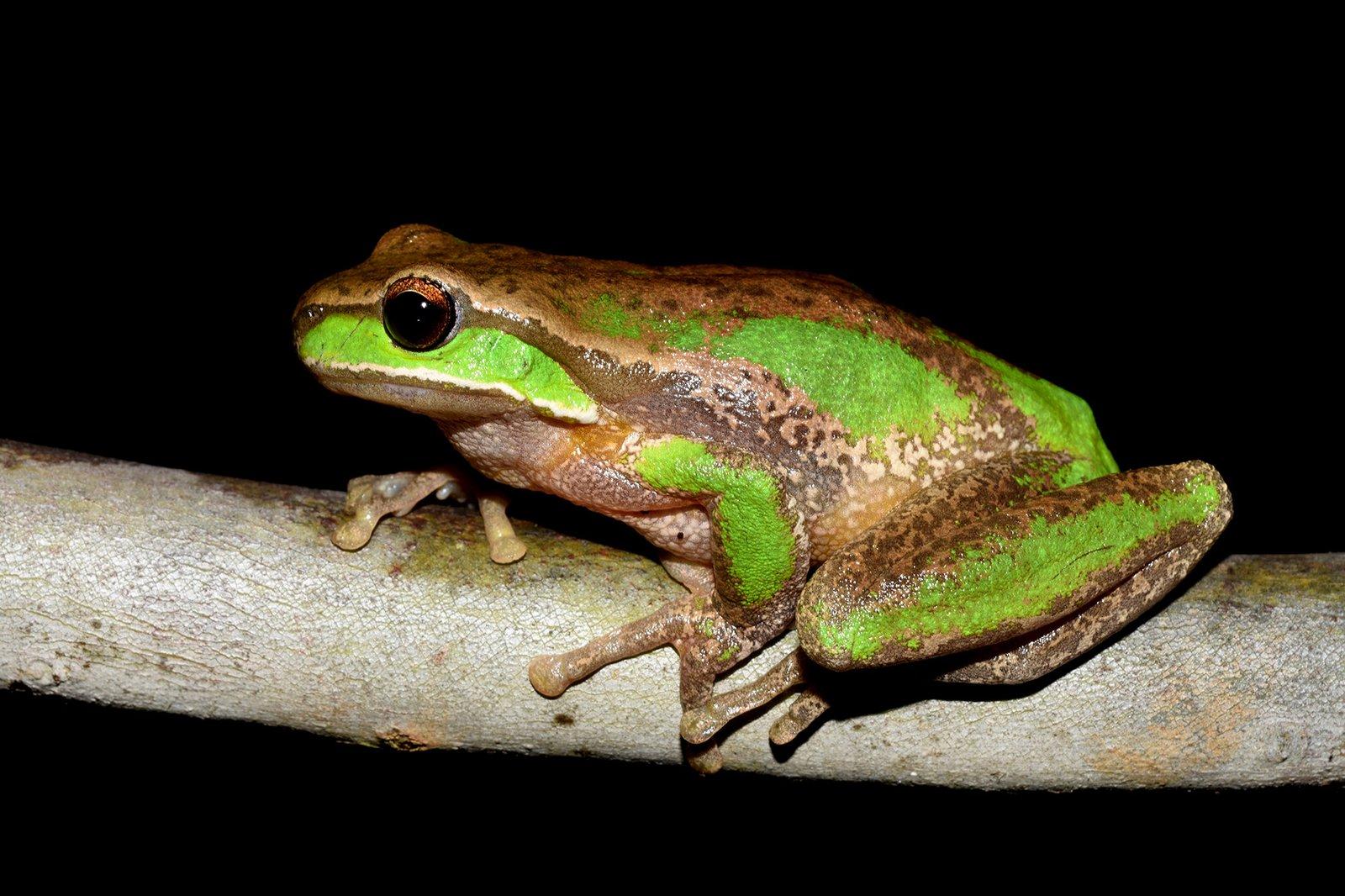 Davies Tree Frog