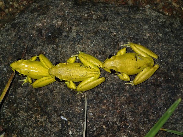 Eastern Stony Creek Frogs