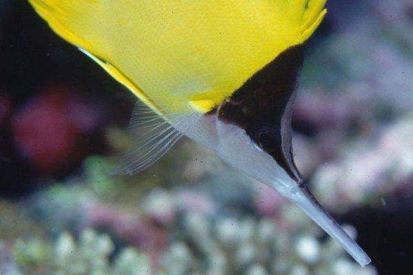 Longnose Butterflyfish, Forcipiger longirostris