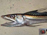 Longnose Lancetfish, Alepisaurus ferox