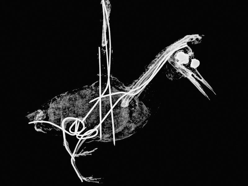 Lord Howe Island bird xray S3.9