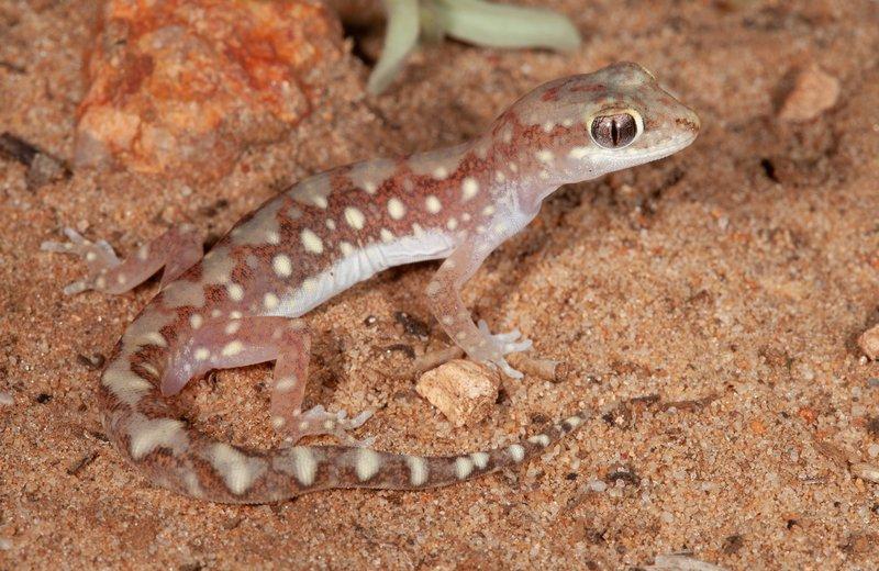Lucasium gecko