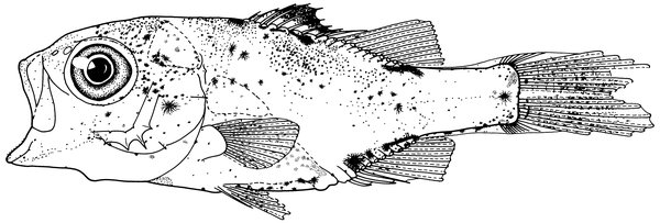 Macquaria novemaculeata, Australian Bass