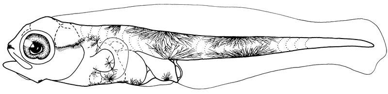 <i>Macquarie novemaculeata,</i>, Australian Bass