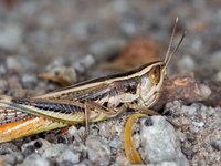 Common Macrotona Grasshopper, Macrotona australis