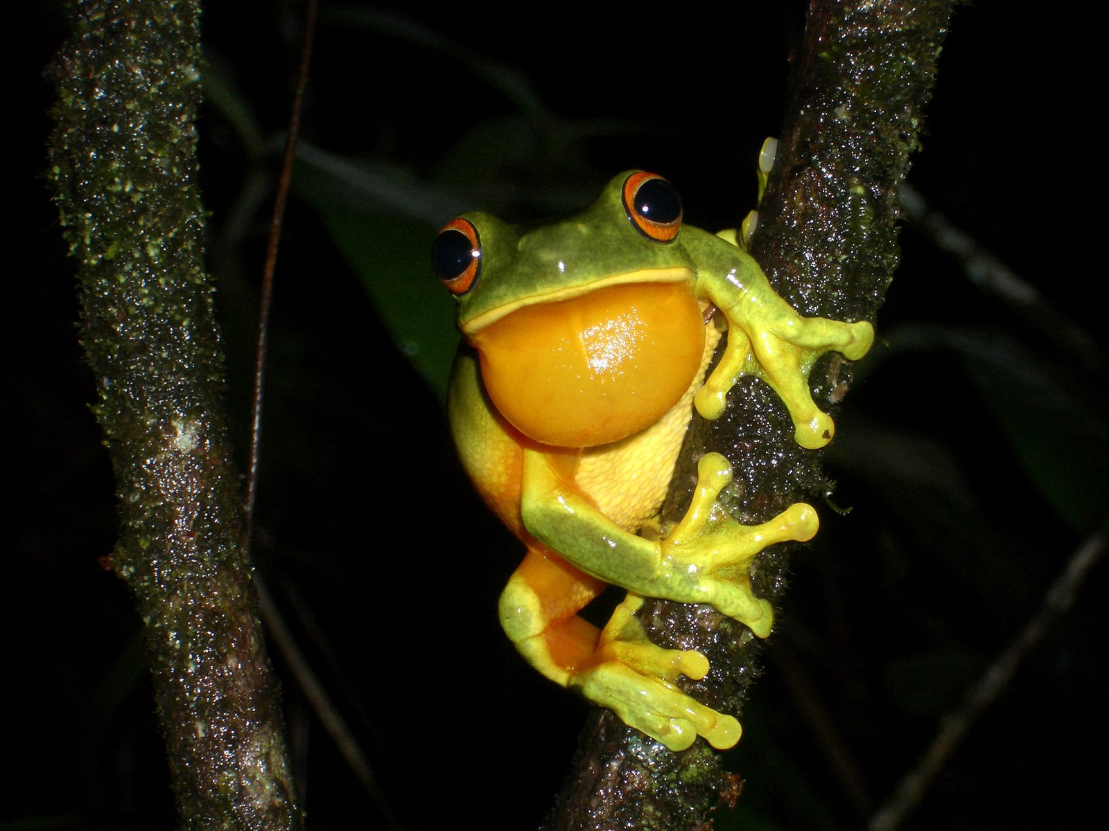 Male Orange-thighed Frog (Litoria xathomera)