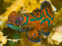 Mandarinfish, Pterosynchiropus splendidus