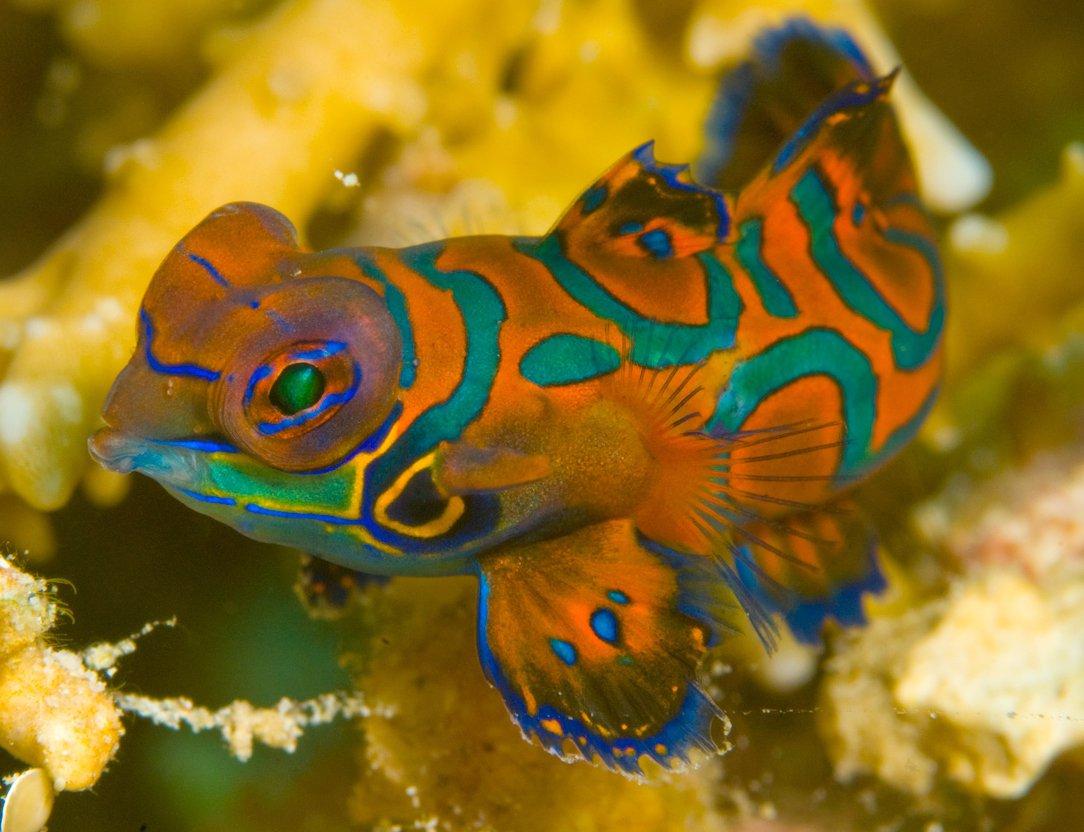Mandarinfish, Pterosynchiropus splendidus