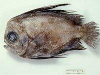 Manefish, <i>Caristius sp</i>