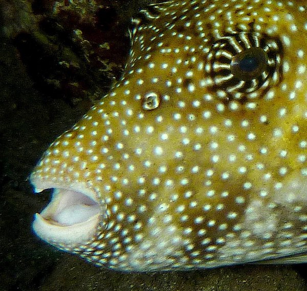 Map Pufferfish, Arothron mappa