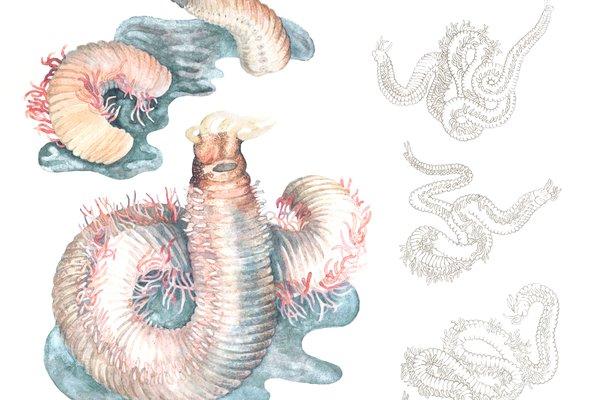 Artistic representation of Marphysa victori Lavesque, Daffe, Bonifácio & Hutchings, 2017, Watercolour from Lisa Miroglio