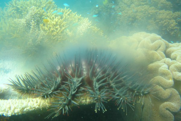 Mass spawning of crown-of-thorns starfish