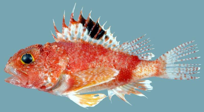 <i>Maxillicosta raoulensis</i>