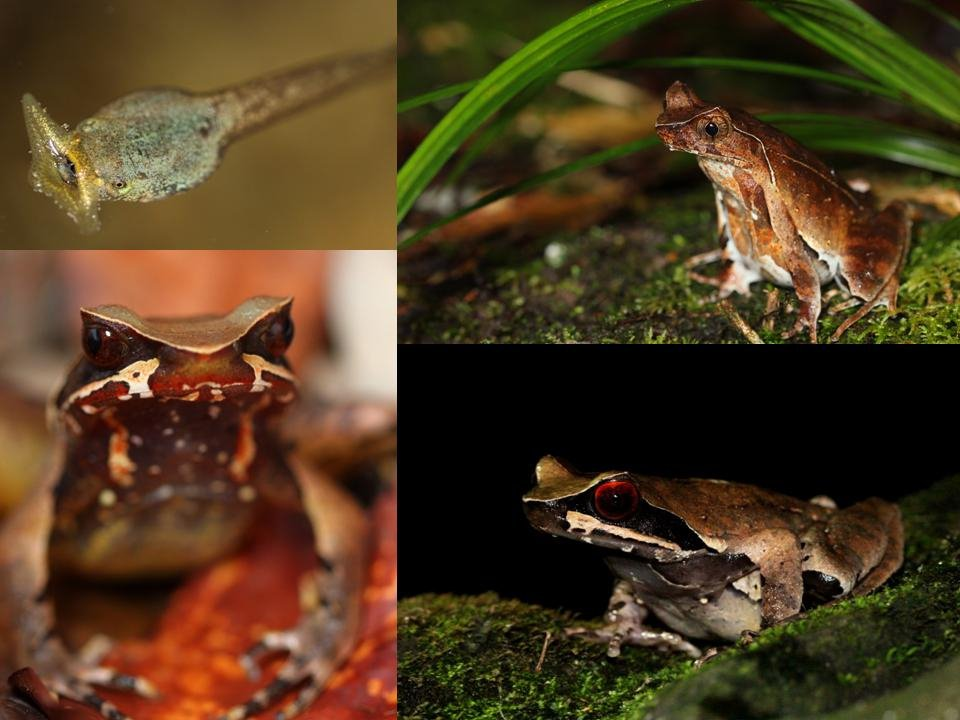 Megophrys - Horned Frogs of Asia