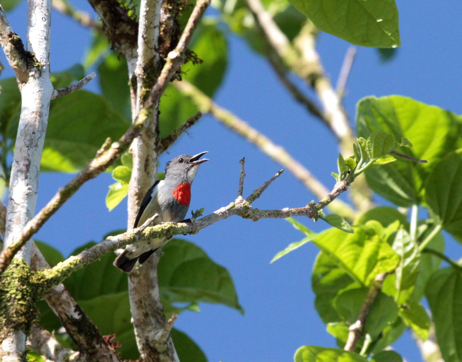 Midget Flowerpecker, Malaita, Solomon Islands