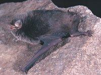 Miniopterus australis