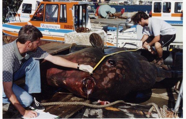 Mola mola I.38997-001 measuring